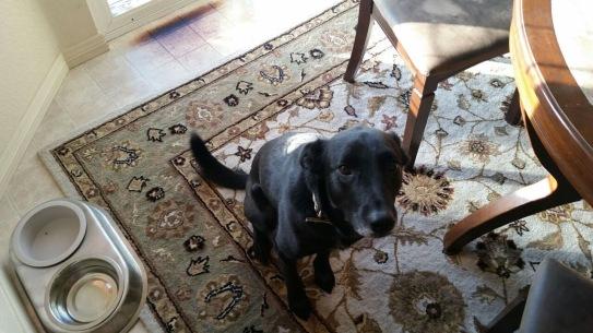 dog begging for treats